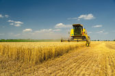 Harvester combine harvesting wheat — Stock Photo