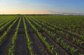 Irrigation system watering corn field — Stockfoto