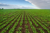 Sugar beet on agricultural field — Stockfoto
