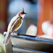 Beautiul red-whiskered bulbul — Stock Photo