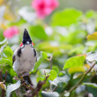 Red-whiskered bulbul in foliage — Stock Photo