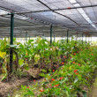 Greenhouse with anturium — Stock Photo