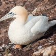 Northern gannet on egg — Stock Photo