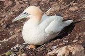 Northern gannet on egg — Stock Photo