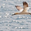 Northern Gannet (Morus bassanus) — Stock Photo