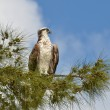 Osprey Eagle — Stock Photo