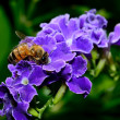 Stock Photo: Honey Bee On Blue Flowers