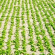 Stock Photo: Vegetable plot