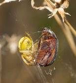 Spiders and beetles — Stock Photo