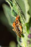 Coléoptères mâles et femelles — Photo