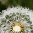Dandelion and dew — Stock Photo