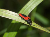 Snapping beetle — Stock Photo