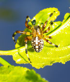 Jumping spider — Foto Stock