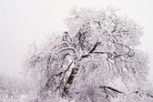 Trees in winter — Stock Photo
