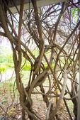 Old vine closeup — Foto Stock