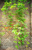 Ivy on old brick wall — Stock Photo