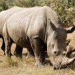 Stock Photo: Masai MarWhite Rhinoceros