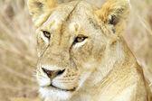 Maasai Mara Lion — Stock Photo