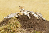 Masai Mara Cheetahs — Stock Photo