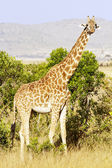 Maasai Mara Giragge — Stock Photo