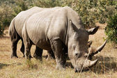 Masai Mara White Rhinoceros — Stock Photo