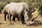 Masai Mara White Rhinoceros — Stock Photo