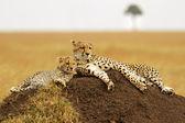 Masai Mara Cheetahs — Stock Photo