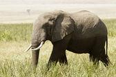 Masai Mara Elephant — Stock Photo