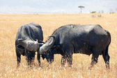Masai Mara Cape Buffalo — Stock Photo