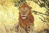 Masai  Mara Lion — Stock fotografie
