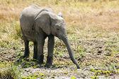 Masai mara slon — Stock fotografie