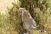 Gepard Masai mara — Zdjęcie stockowe