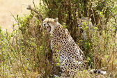 Chita de masai mara — Foto de Stock