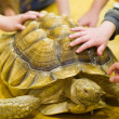 Tortoise in an Indoor Setting with Children's Hands — Stock Photo