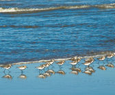 A Flock of Little Brown Seabirds at the Seashore — Stock Photo