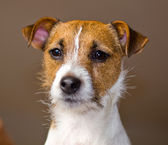 Portrait of a Cute Jack Russell Terrier — Stock Photo