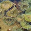 A Bed of Sea Anemones at Cannon Beach on the Oregon Coast USA — 图库照片