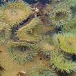 A Bed of Sea Anemones at Cannon Beach on the Oregon Coast USA — Stockfoto
