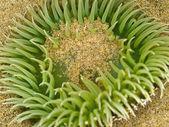 Closeup of a Sea Anemone at Cannon Beach on the Oregon Coast USA — Zdjęcie stockowe