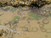 A Bed of Sea Anemones at Cannon Beach on the Oregon Coast USA — Stock Photo