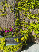Violet Petunias growing in a wooden planter with ivy growing up a fence — Stock Photo