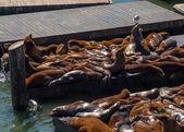 Sea Lions at Pier 39 at San Francisco — Stock Photo