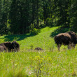 Stock Photo: Large American Bison