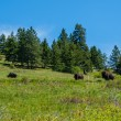 Large American Bison — Stock Photo