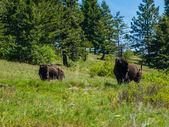 Large American Bison — Photo