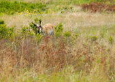 Antelope in a Field — Photo