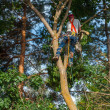 Arborist Trimming Down a Tree — Stock Photo #39985965
