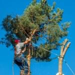Arborist Trimming Down a Tree — Stock Photo #39986717