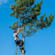 Arborist Trimming Down a Tree — Stock Photo #39986763