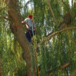 Stock Photo: Arborist Trimming Down Tree